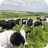 cows, cow, farms, farming, rural, dairy